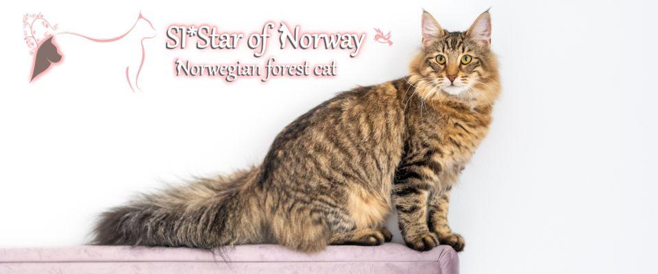 Norwegian Forest Cat Brianna