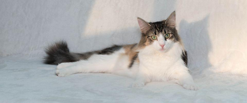 Norwegian Forest Cat Perla (A Star is Born)